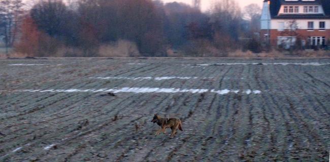 erkennung fährte wolf